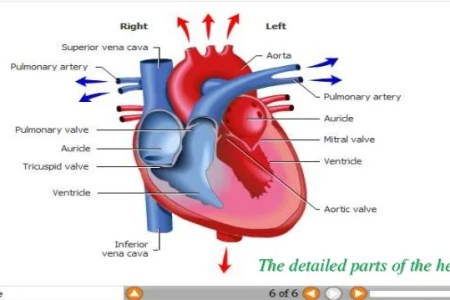 Interior inferior portion of the heart free interior design mir parts of the heart melo in tandem co parts heart heart anatomy anatomy and physiology ii this diagram shows the location of the heart in the thorax the ccuart Choice Image