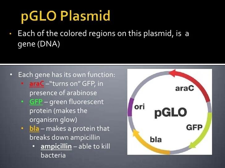 P glo presentation
