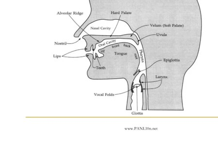 Anatomy Of Vocal Organs 4k Pictures 4k Pictures Full Hq Wallpaper