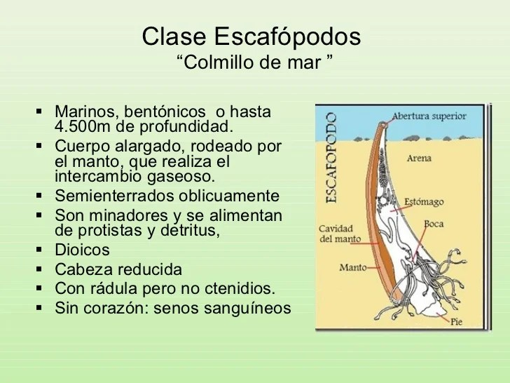 Resultado de imagen para escafópodos ejemplos