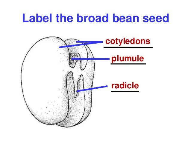 Inside Of Bean Seed Diagram Label Residential Electrical Symbols