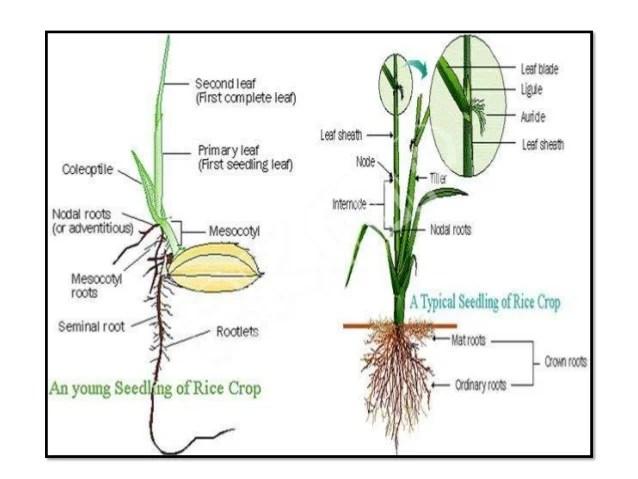 Presentation on morphology of rice plant