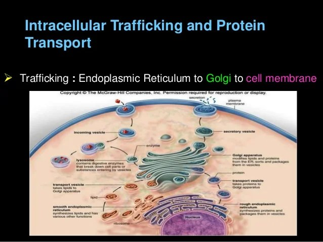 Electron Chain Cell Transport Plant