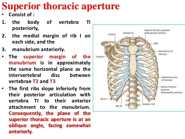 And Its Articulation With Thoracic Vertebrae Posterior Rib