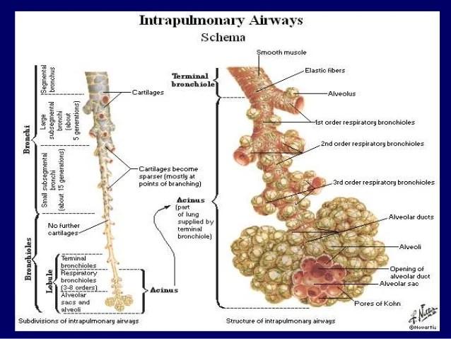 Anatomy Of Bronchioles