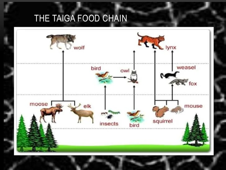 If the food chain did not have voles, their predators. Taiga