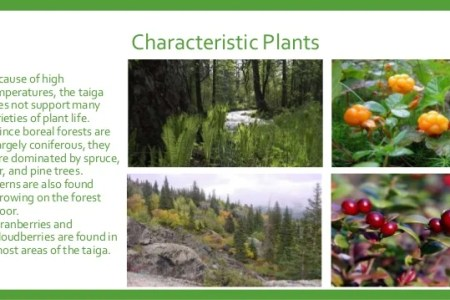 The Black Spruce Is Found All Across Taiga Biome It A Tall Coniferous Tree That Has Short Flimsy Branches Adaptations Make Suitable To