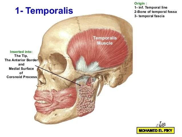 Superficial Anterior Neck Anatomy Nerves