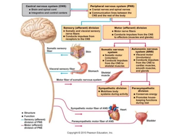 Motor Division Of The Autonomic Nervous System | Automotivegarage.org