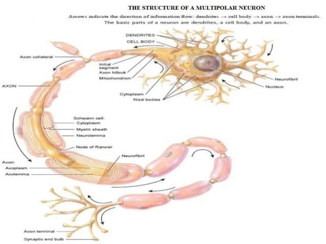 The nervous system presentation dawn part 1
