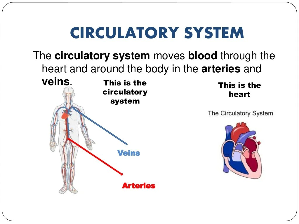 The Human Body Circulatory System Respiratory System And