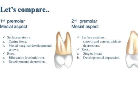 roots of upper premolar » 4K Pictures | 4K Pictures [Full HQ Wallpaper]