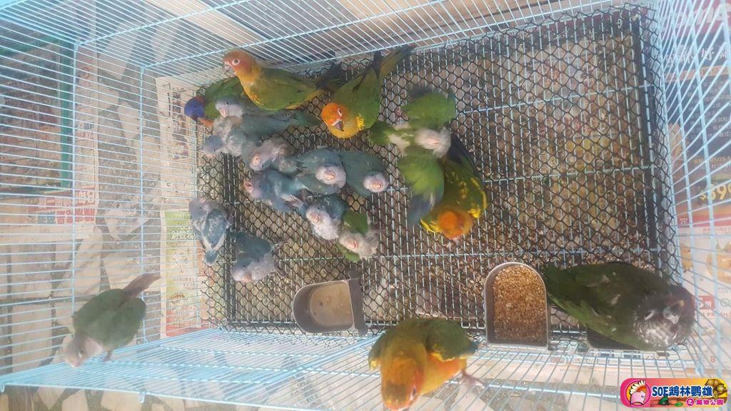 小黃帽。折衷。紅伶。灰鸚鵡。紅肩金剛。多種幼鳥 - 鸚鵡狂響 - SOE 鵡林鸚雄之寵物公園 - Powered by Discuz!