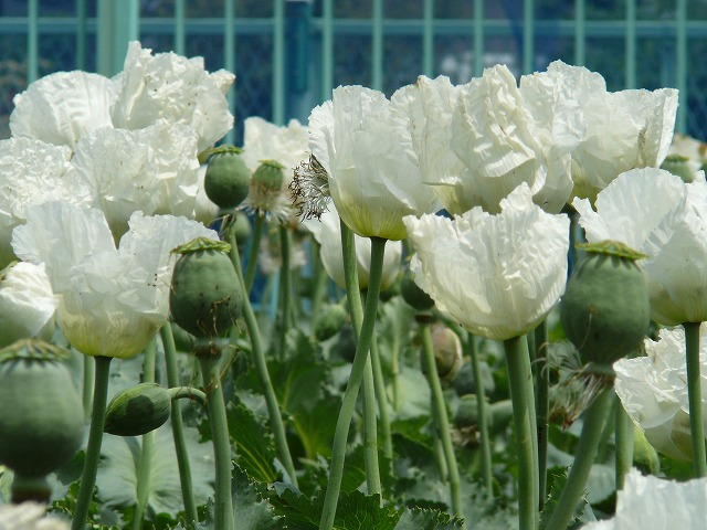 The Source of Ikkanshu Poppy Seeds