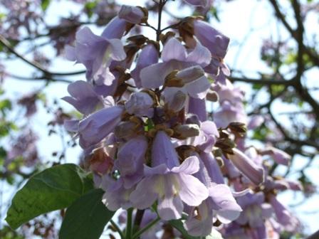 桐の花~笹川流れ