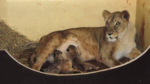 Lioness Bastet