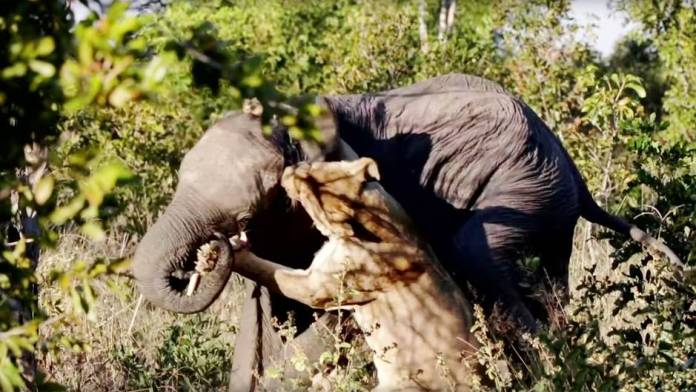 Zimbabwe: Lioness attacks elephants - Safari participants experience a battle for life and death