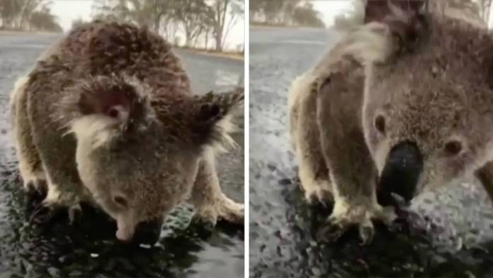 A koala drinks from a puddle