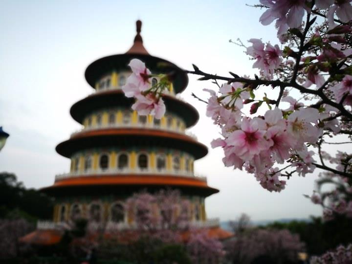tienyuan01 淡水-晨光中綻放的櫻花 北台灣最夯賞櫻景點天元宮