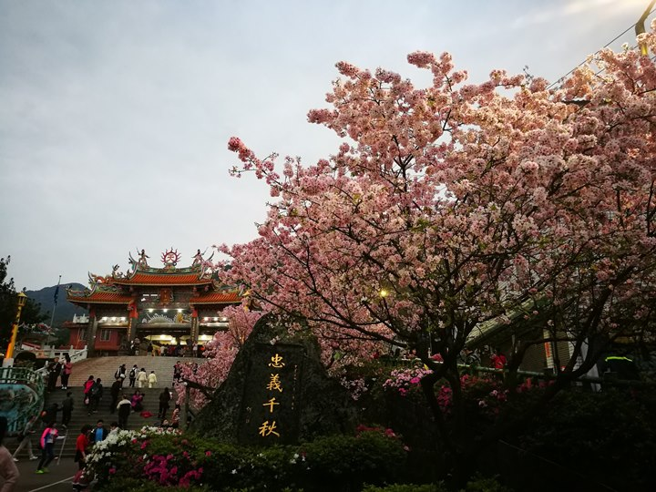 tienyuan02 淡水-晨光中綻放的櫻花 北台灣最夯賞櫻景點天元宮