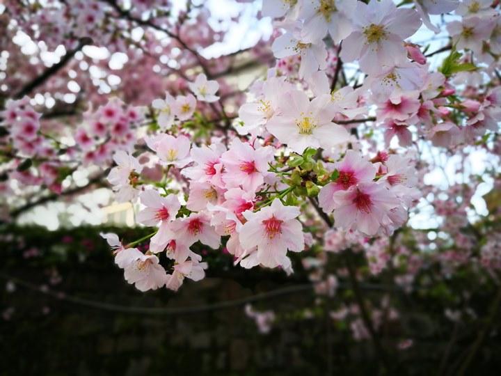 tienyuan16 淡水-晨光中綻放的櫻花 北台灣最夯賞櫻景點天元宮