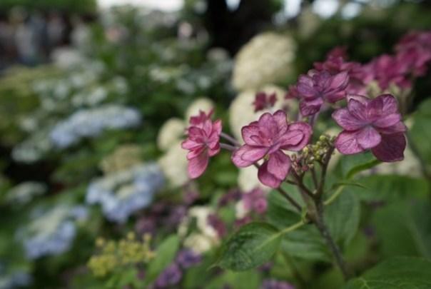 flowertemple26 Kamakura-鎌倉長谷寺 紫陽花季人山人海啊