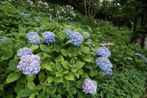 flowertemple41 Kamakura-鎌倉長谷寺 紫陽花季人山人海啊