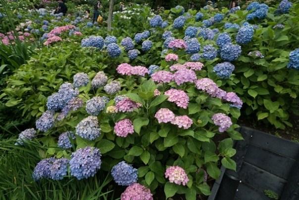 flowertemple43 Kamakura-鎌倉長谷寺 紫陽花季人山人海啊