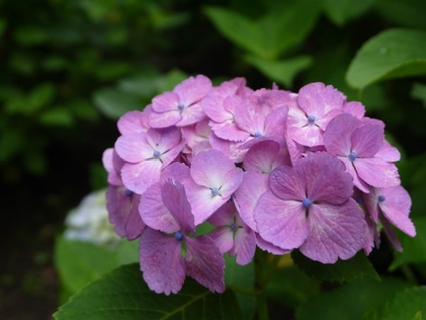 flowertemple45 Kamakura-鎌倉長谷寺 紫陽花季人山人海啊