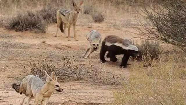 社會平頭哥蜜獾和比特犬打架誰贏?_找靚機科普V-梨視頻官網-Pear Video