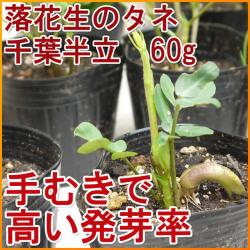 落花生の種_千葉半立_販売ペ―ジへ