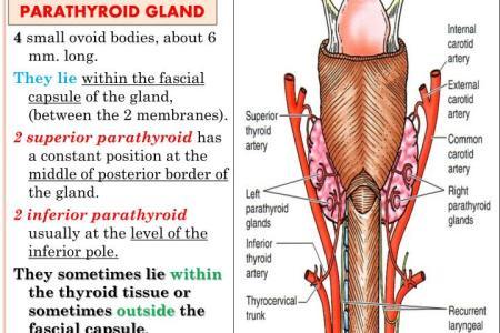 Interior Inferior Parathyroid Gland Location Full Hd Maps