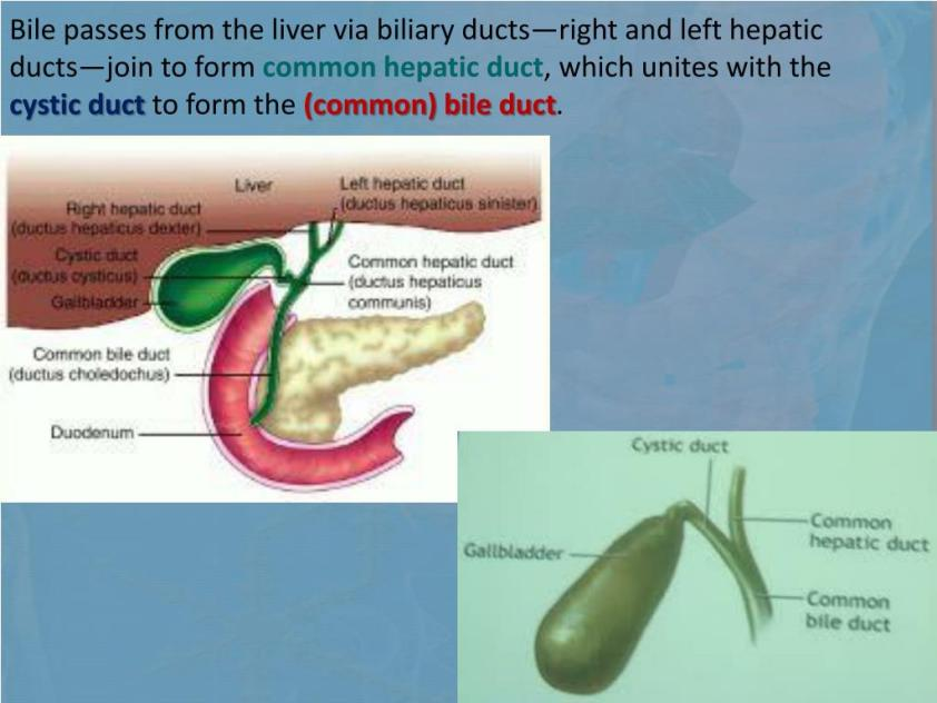 PPT - ANATOMY OF THE DIGESTIVE SYSTEM PART 2 PowerPoint ...