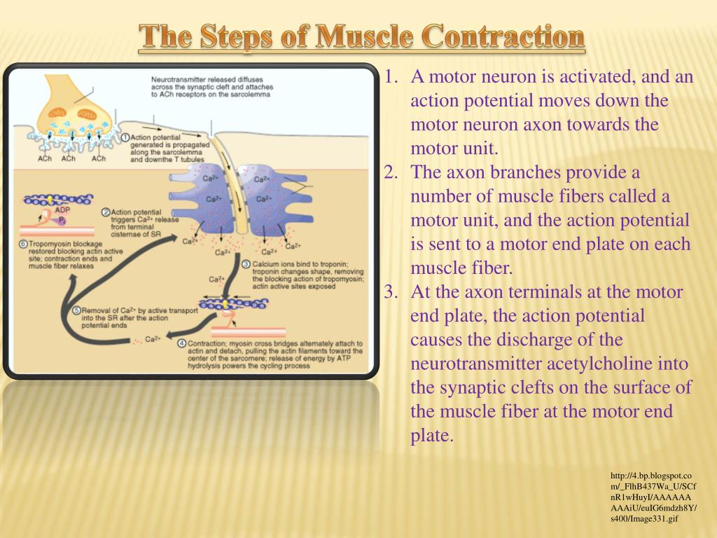 Motor Neuron Muscle Contraction Steps
