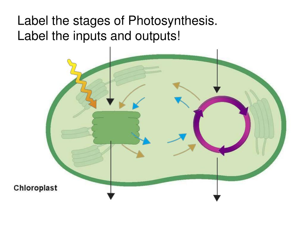 31 Label Photosynthesis