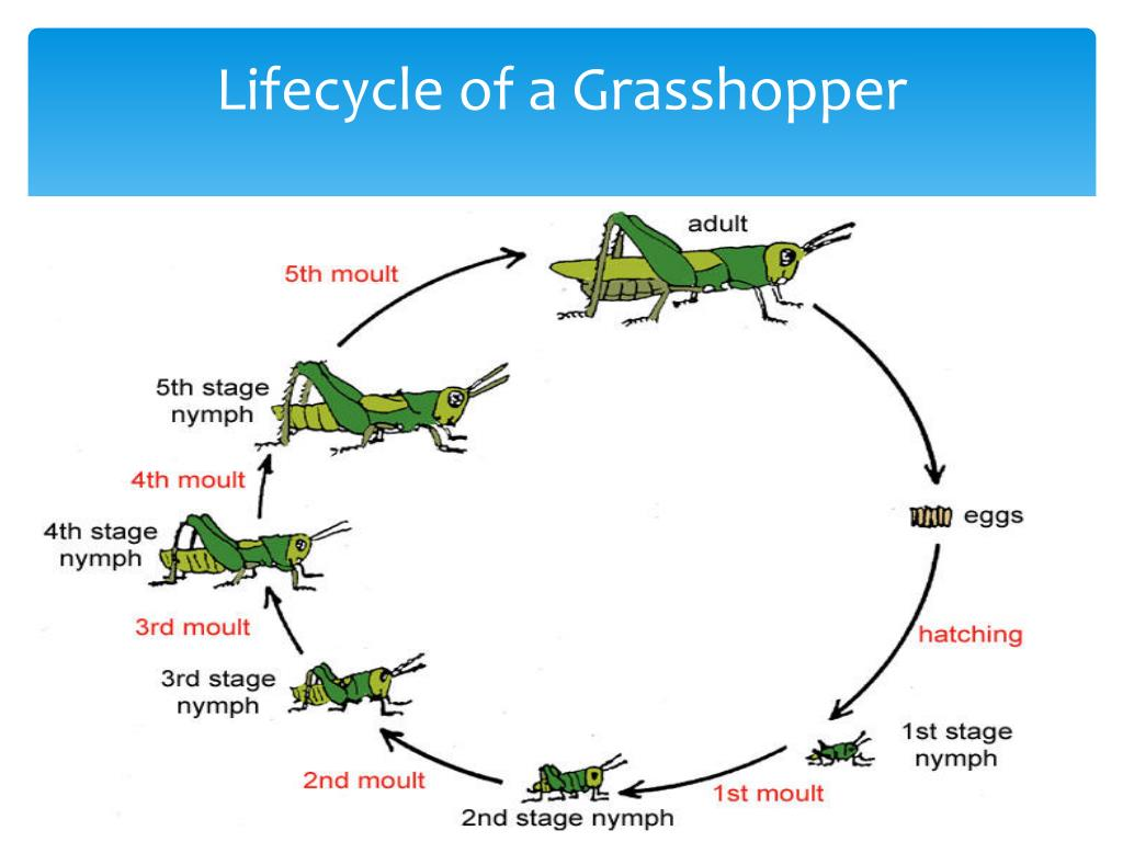 Maycintadamayantixibb Stages In Grasshopper Life Cycle
