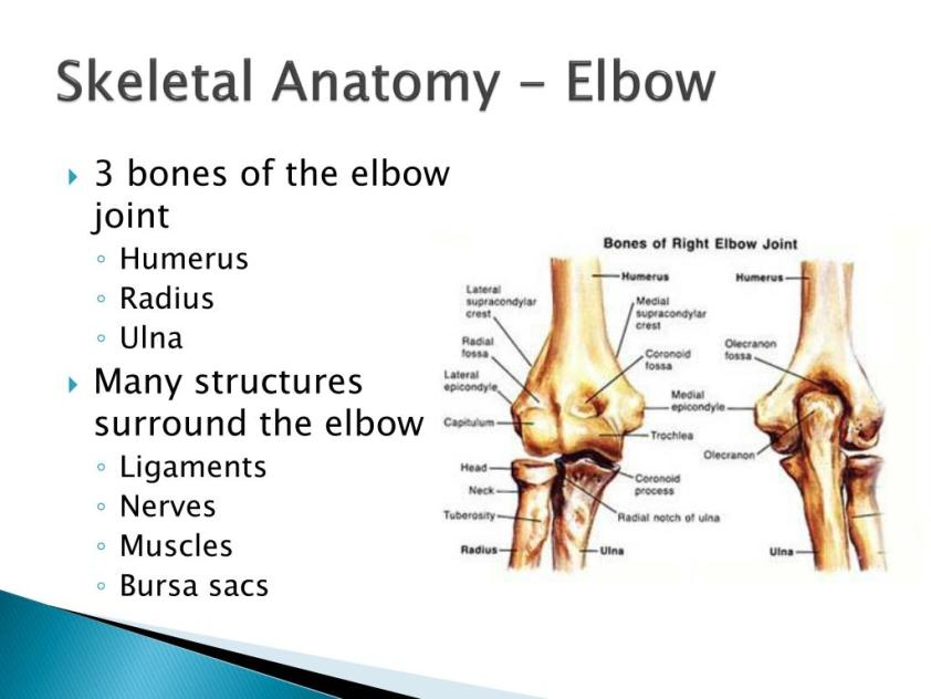 PPT - The Elbow, Wrist, and Hand PowerPoint Presentation ...