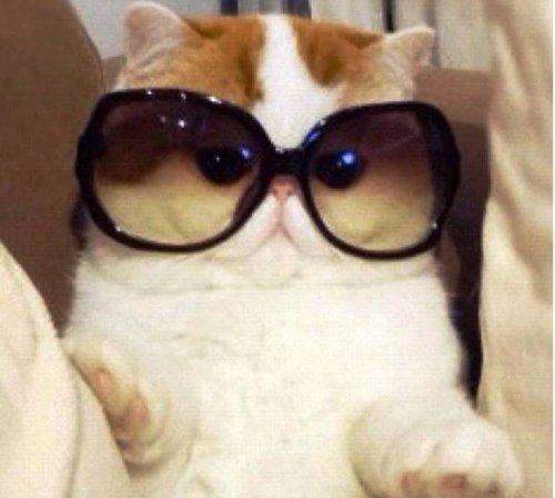 plešatý mačička zblízka