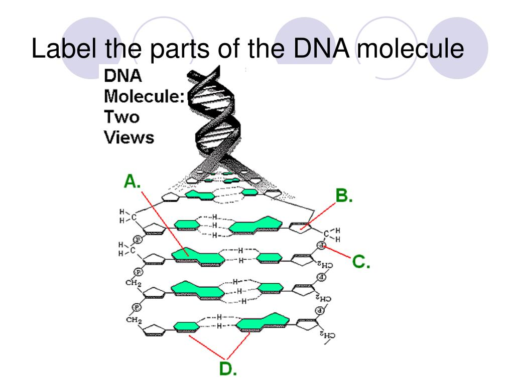 32 Label The Dna