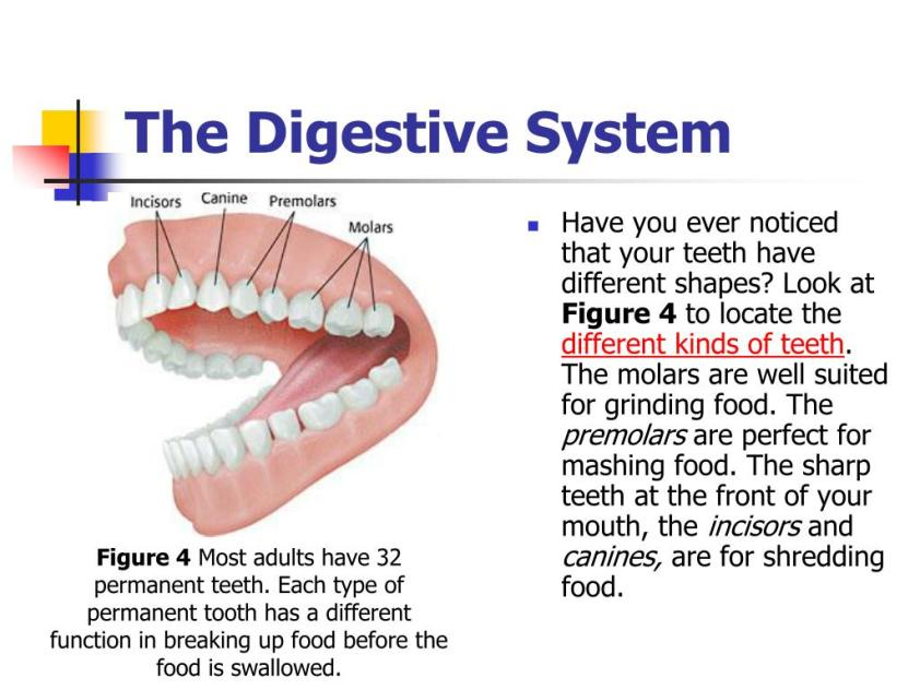 What Is The Function Of Teeth In The Digestive System ...