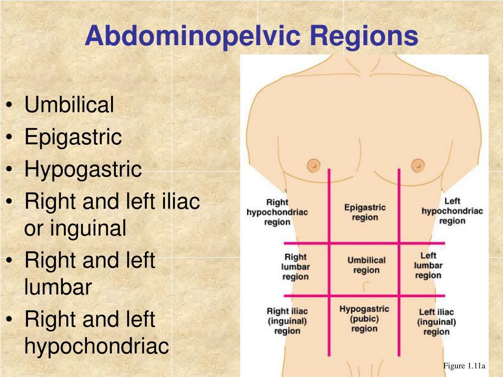 Abdominopelvic Regions And Quadrants Quiz