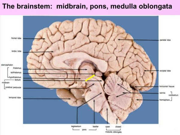 PPT - Chapter 3 Brainstem Anatomy, Topography, and ...