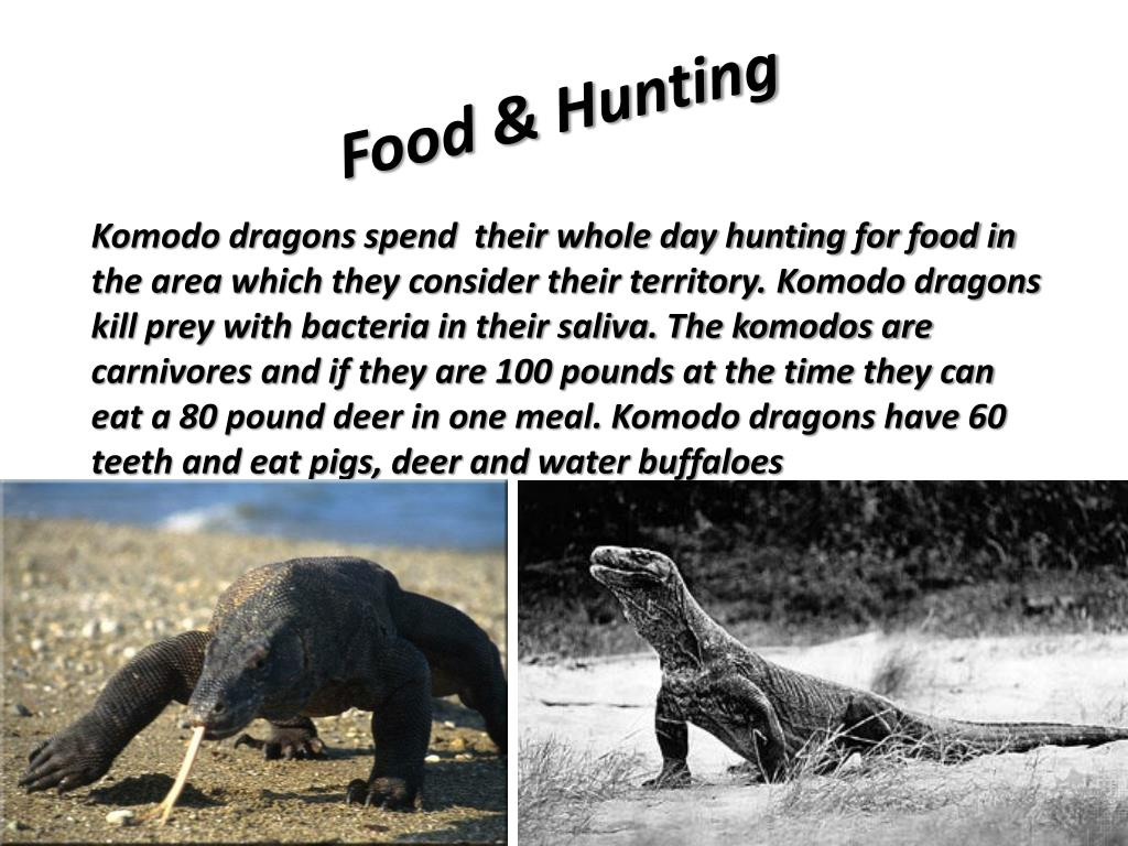 Komodo Dragon Territory