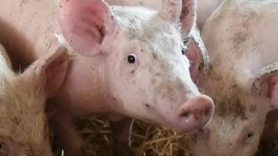 La propagation de la fièvre porcine détectée en Rép. dominicaine est imminente en Haïti - fièvre porcine, République Dominicaine