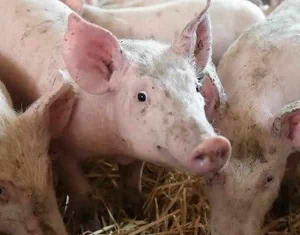 Haïti interdit l'importation des produits à base de porc en provenance de la République dominicaine -