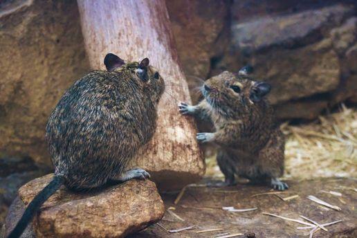 Мыши первыми начали жить с людьми