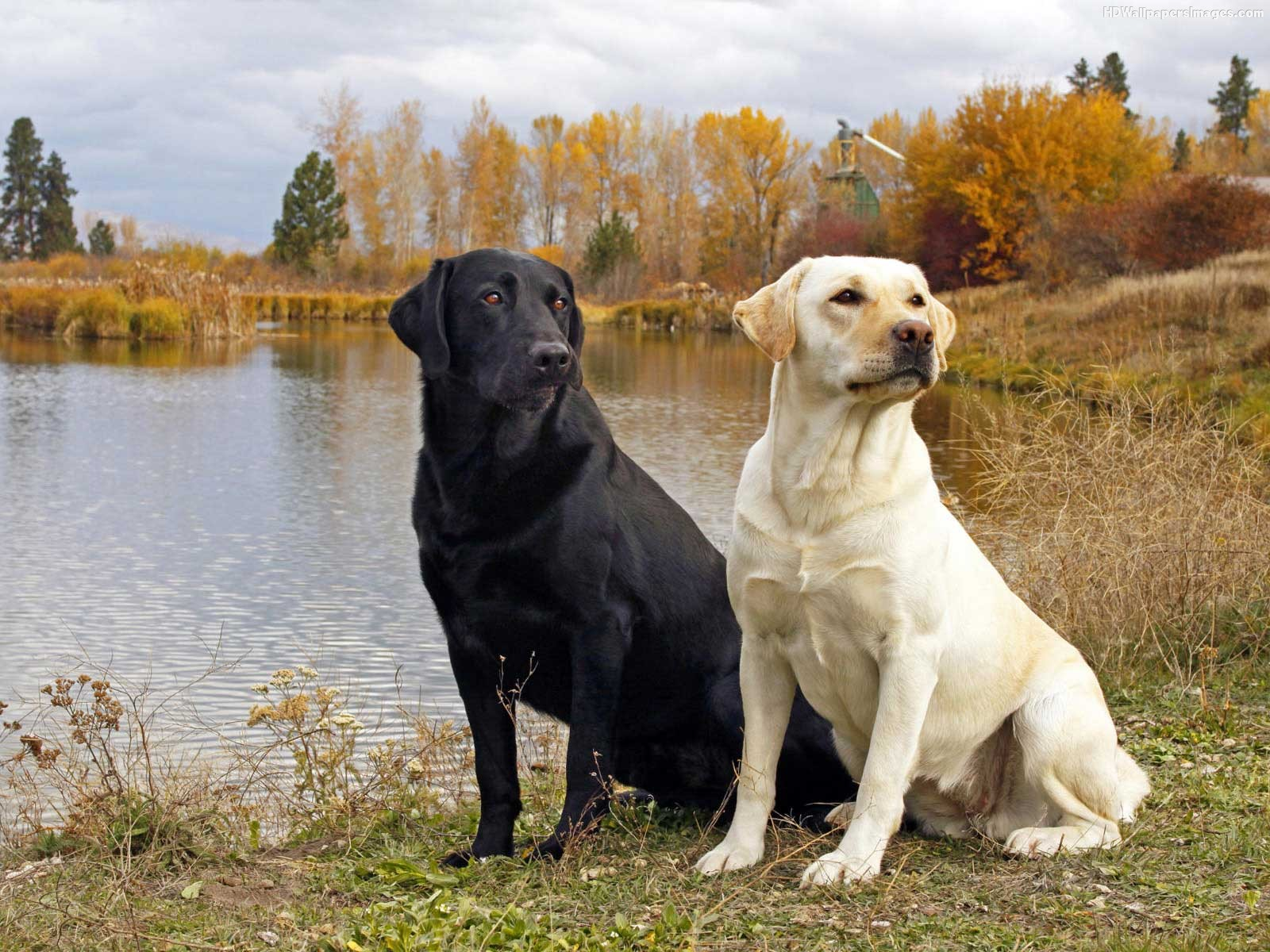White Lab Dogs Pictures