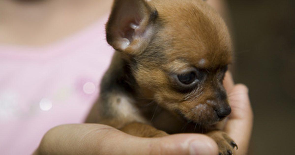 perro chihuahua fondo de - photo #16