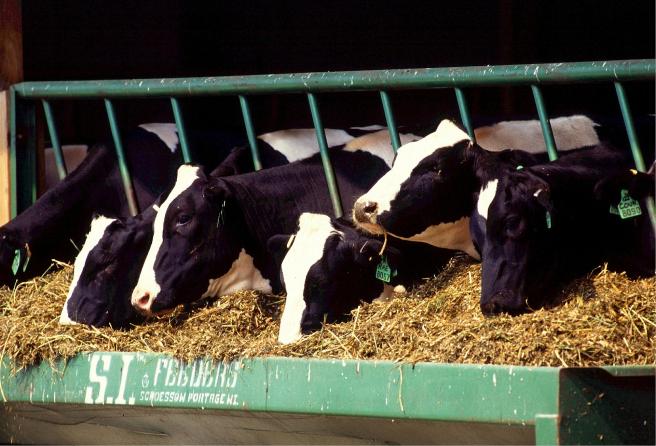 La investigación se ha probado con vacas de la raza Holstein.