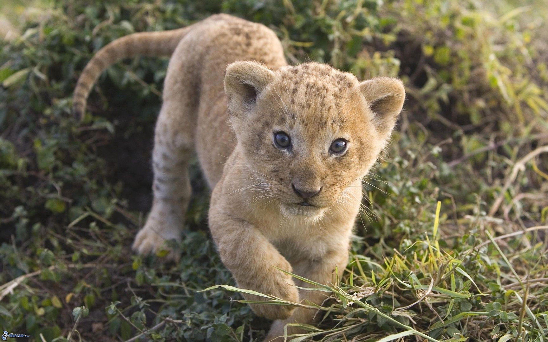 Resultado de imagen de cachorro leon